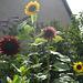 verschillende soorten zonnebloemen