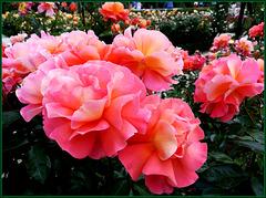 Rose Daniel Gelin