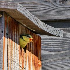 P1300197- Mésange bleue juvénile (c'est le moment de sortir du nid !) - Jardin. 21 mai 2020