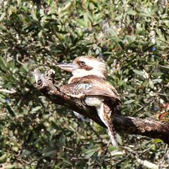 261/365 Kookaburra