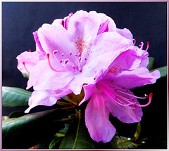 Rhododendron, one day later... ©UdoSm