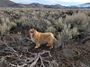 Cole in the sagebrush
