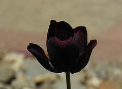 Nigra tulipo
