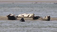 Phoques - Seals  (baie de Somme)