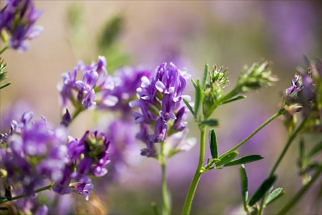 Medicago sativa, Fabaceae