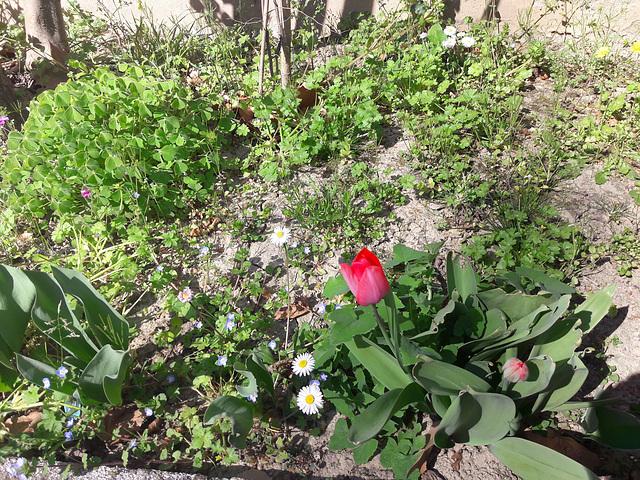 Nel giardino ci rallegra il primo di una serie di venti tulipani che ho piantato insieme ad una amica!