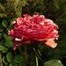 Rosa roja soleada