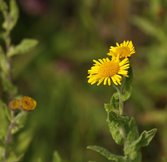 Fleabane (Pulicaria dysenterica)