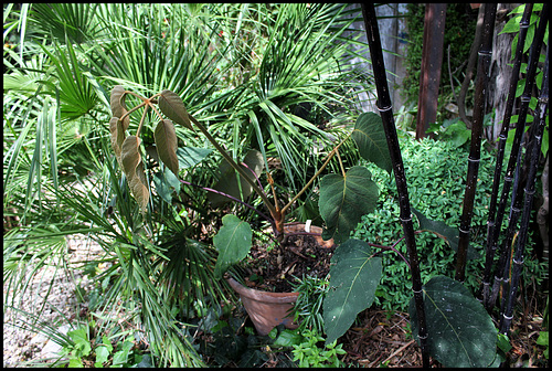 Schefflera macrophylla (2)