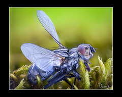 Red Eyed Fly - The Whole Fly