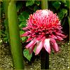 St.Lucia: Soufrière, Diamond Botanical Gardens - tropical flower : Elatior Etlingera = fiore di zenzero