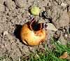 Red Admiral on Rotting Apple