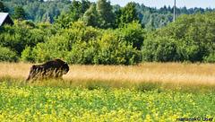 European bison,Poland