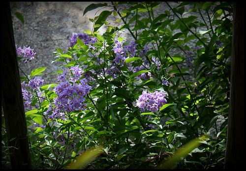 Solanum (1)