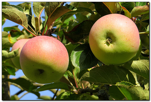Garten   Äpfel
