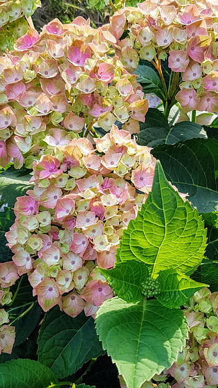 shades of pale pink and soft green Hydrangea