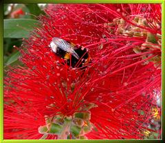 """Hummel in """"Zylinderputzer-Blüte"""" (Callistemon montanus)... ©UdoSm"""