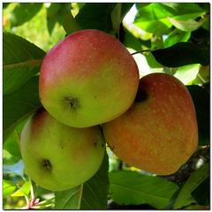 Garten | Äpfel
