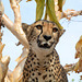 Namibia, Portrait of a Cheetah on a Tree in the Otjitotongwe Guest Farm
