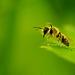 Le bonjour de l'abeille solitaire