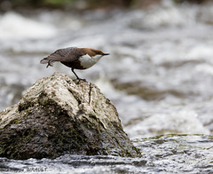 Cincle plongeur (Cinclus cinclus - White-throated Dipper)