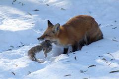 le repas de Goupil le renard