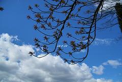 Bourgeons sur fond de ciel moutonneux...