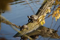 Schildkröten am Machnower See