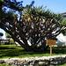 Centenary dragonblood tree.