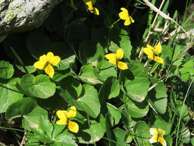 Pensée à deux fleurs (Viola biflora), Villar d'Arène, Briançonnais (France)