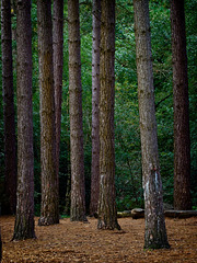 Sentinels of the Forest