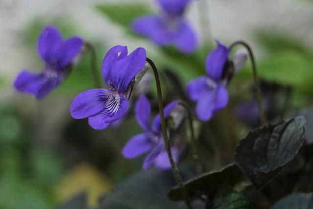 Duftveilchen (Viola odorata)...