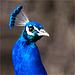 Le bleu beau