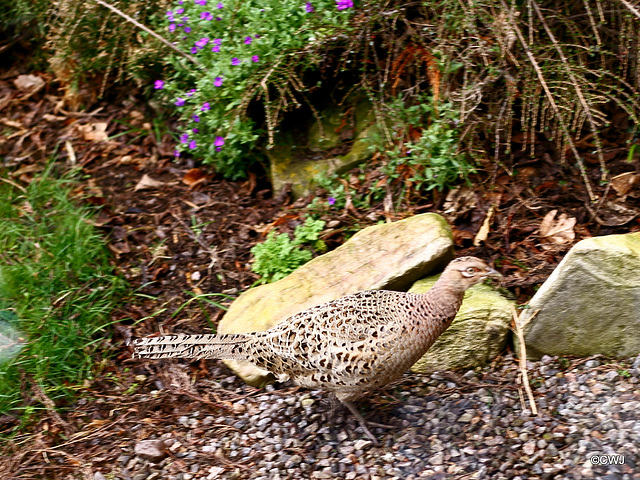 Does your husband know you are here? Hen pheasant on the scrounge for breakfast.