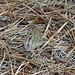 Little Wood-Satyr (Megisto cymela)