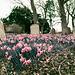Ayot Daffodils