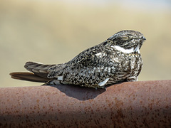Common Nighthawk / Chordeiles minor