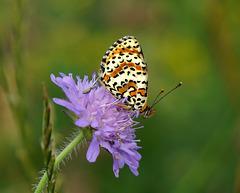 Ein stark gefährdeter Schmetterling - A highly endangered butterfly - PiP