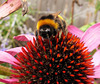 Bee enjoying a coneflower