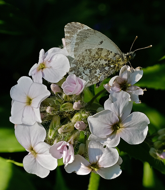 Female Orange Tip on Dames Violet