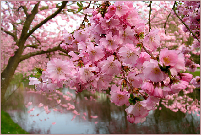 Flowering Cherry Trees...