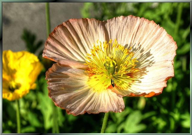 Eine Blüte aus der Familie der Mohnblumen. ©UdoSm