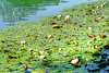 Water Lily field in the Alatsee... ©UdoSm