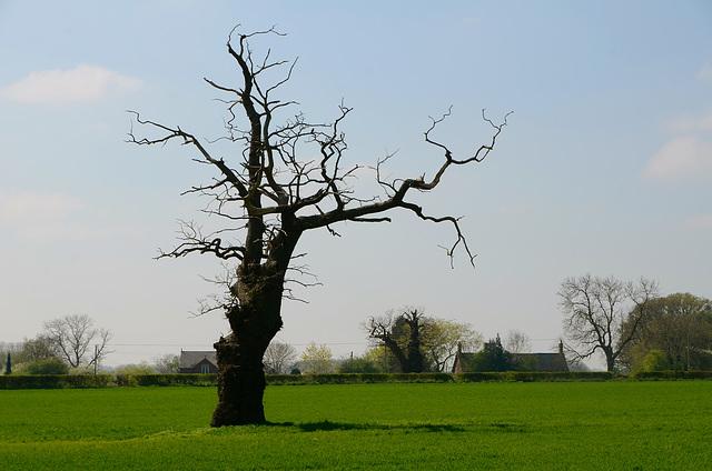 Lone tree, Church Eaton