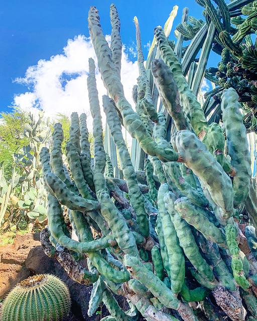 cactus garden - Kapiolani Community College