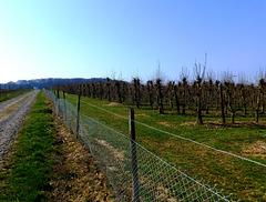 DE - Grafschaft - Obstbau bei Ringen