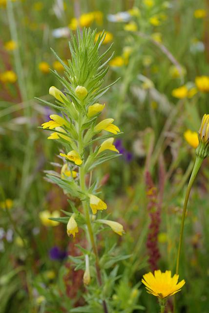 Parentucellia viscosa, Lamiales, Orobanchaceae