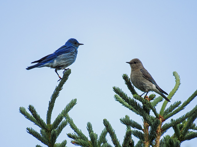 Mr. and Mrs. Mountain Bluebird