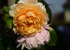 Ginger Syllabub Rose