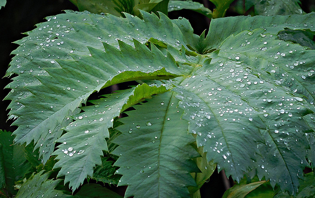 Droplets on serrated leaves